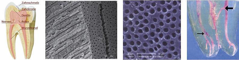 Zahnaufbau und mikroskopische Betrachtung des Wurzelkanals